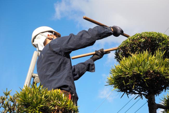 庭木剪定のお仕事